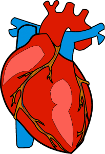 The Human Heart