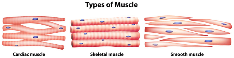 ACTN3 3 types of muscles